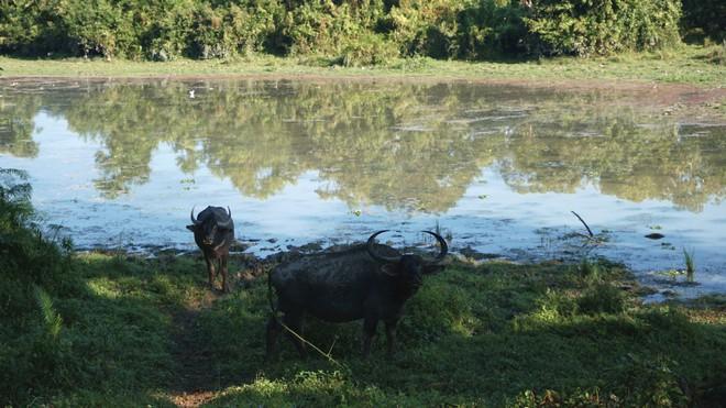 Wild Water Buffaloes in Kaziranga